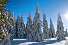 Winter conifers Stock Photography