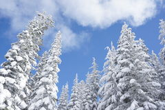 Winter conifers covered in snow. Tall conifers covered in snow under partly cloudy sky Stock Photography