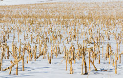 Winter corn field Royalty Free Stock Photos