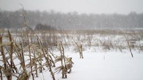 Winter Corn Field Snowfall stock video