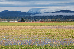 Winter Corn Field Stock Image