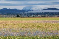 Winter Corn Field Stock Image