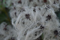 Winter cotton flowers Royalty Free Stock Images
