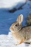 Winter Cottontail Rabbit Royalty Free Stock Photo