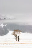 Winter Cottonwoods, Yellowstone Stock Images