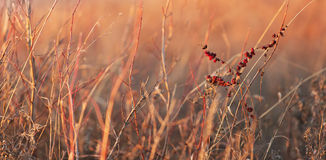 Winter country grass. Panoramic photo of country grass in Kansas during a winter sunset Royalty Free Stock Photography