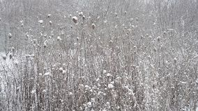Winter countryside plants. In snow stock video footage