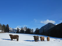 Winter  cow Royalty Free Stock Images