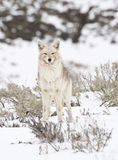 Winter Coyote. A coyote in Yellowstone poses in snowy sagebrush stock photo
