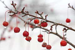 Winter Crabapple Tree Branch Covered in Ice Stock Photography