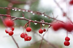 Winter Crabapple Tree Stock Photography