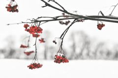 Winter cranberry Royalty Free Stock Photo