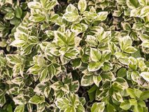 Winter creeper. Closeup of winter creeper bush royalty free stock photography