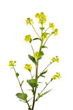 Winter Cress Stock Images