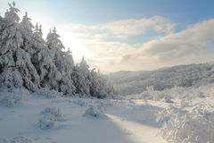 Winter Cristmas landscape from Bulgaria. Winter mountain landscape with Christmas frosen pine-trees Stock Images