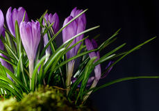 Winter crocus. Royalty Free Stock Images