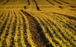 Winter crop . . Royalty Free Stock Photo