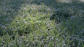 Winter crop dew morning stock footage