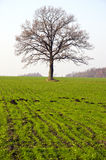 Winter crop field and tree in autumn Stock Photo