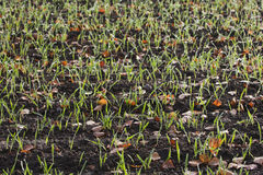 Winter crop Royalty Free Stock Images