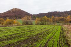 Winter crop panted in field Royalty Free Stock Photo