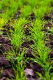 Winter crop planted in the field Stock Image