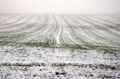 Winter crop wheat field covered snow and dark morning mist Royalty Free Stock Image