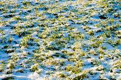 Winter crops Stock Image