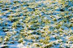 Winter crops Stock Image
