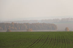 Winter crops in the foggy morning. Winter crops in the foggy autumn morning Royalty Free Stock Photo