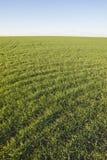 Winter crops. Green grass Stock Photos