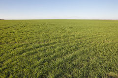 Winter crops. Green grass Royalty Free Stock Photo