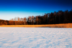 Winter crops near forest Royalty Free Stock Image