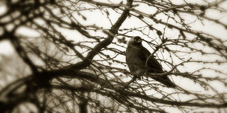 Winter crow Stock Photos