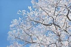 Winter frost snow frost ice crown of an acacia tree against the sky royalty free stock image