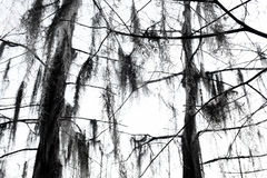 Winter Cypress. Cypress trees in Louisiana during the Winter Stock Photo