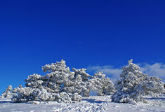 Winter day. Pines covered by snow at sunny winter day Royalty Free Stock Images