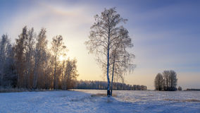 Winter day in a field with birch, Russia, Ural Royalty Free Stock Images