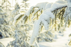 Winter day a fir tree branch in snow Royalty Free Stock Image