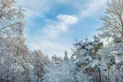 Winter day in the forest. The tops of the trees are covered with snow on a clear day. Background Royalty Free Stock Photos