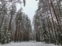 Winter day in the forest. Stock Image