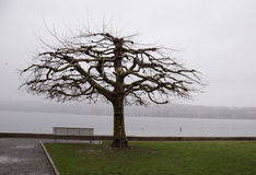 Winter day at the lakeside plane tree Royalty Free Stock Images