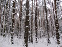 Winter day in the snow covered forest. royalty free stock images