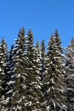 Winter day in the  spruce forest Royalty Free Stock Images