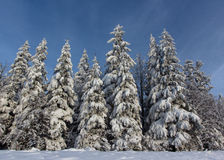 Winter day in the wood. Snow, sunny weather, trees in the snow Stock Image