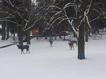 winter dears stock photos
