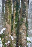 Hornbeam-wood in winter, trees covered with epiphytes, lianas, and sleet. Winter deciduous forest on shore of the Black sea. European hornbeam Carpinus betulus Stock Photo