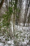 Hornbeam-wood in winter, trees covered with epiphytes, lianas, and sleet. Winter deciduous forest on shore of the Black sea. European hornbeam Carpinus betulus Stock Photography