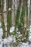 Hornbeam-wood in winter, trees covered with epiphytes, lianas, and sleet. Winter deciduous forest on shore of the Black sea. European hornbeam Carpinus betulus Royalty Free Stock Photo