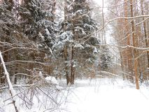 Winter in the deep woods. Winter landscape in the deep woods. Fir and pines grove. Paws of the fir trees covered with fresh snow. Branches on the foreground Stock Photos